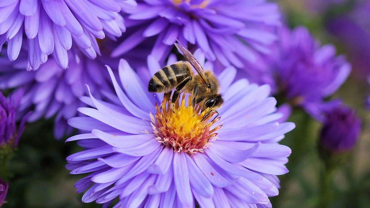 EPA Considers 300,000-Acre Expansion for Bee-Toxic Pesticide