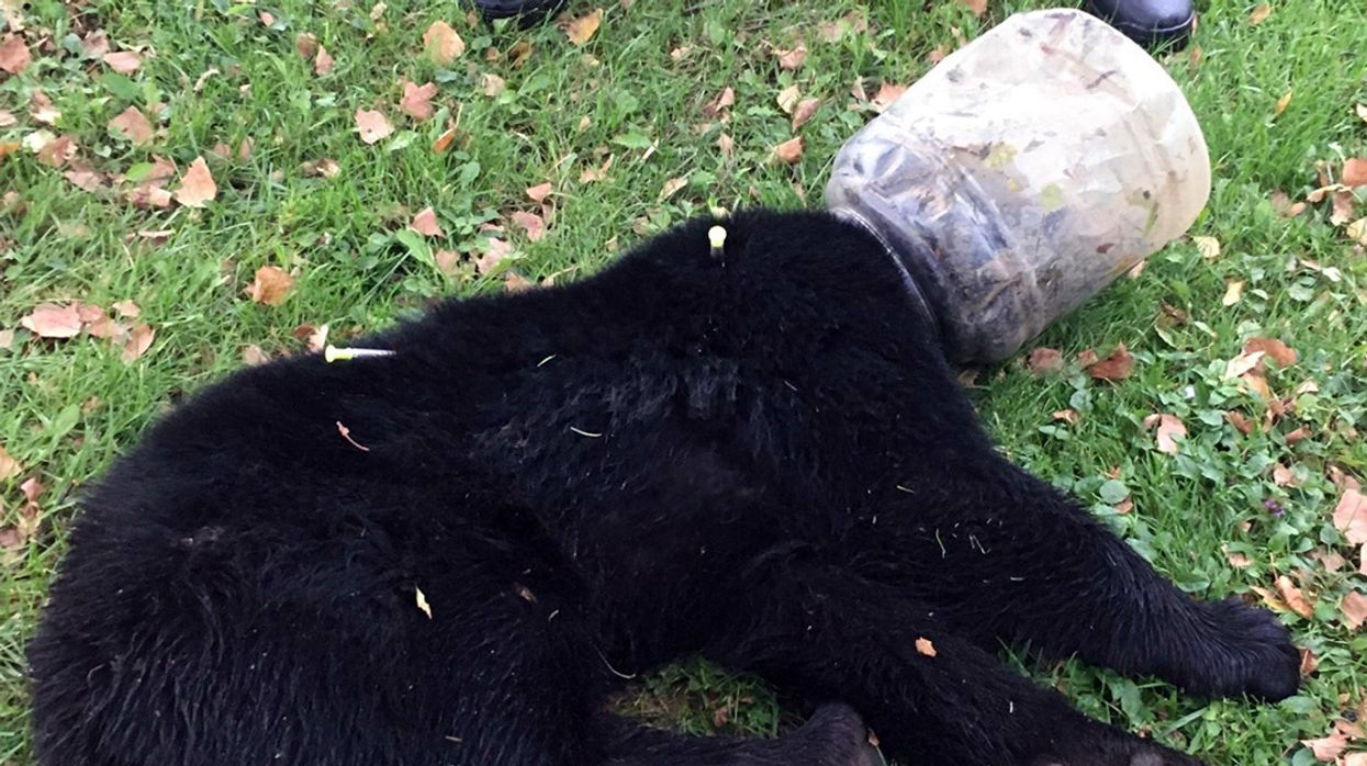 Rangers Free Bear Cub From Plastic Jar After Three-Day Search