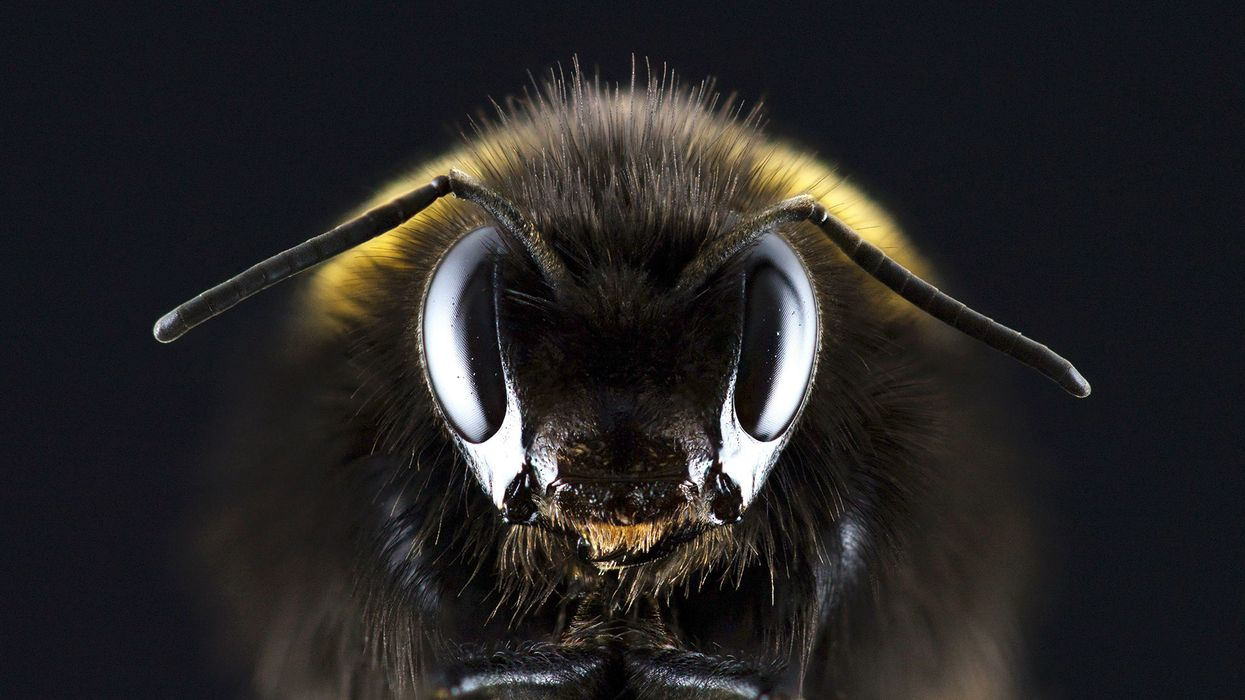 Surprising behavior of bees during total solar eclipses discovered