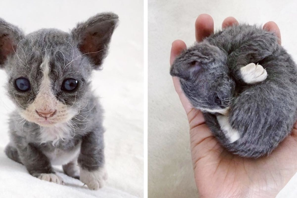 Rescued Kitten with Face Like Plush Toy, Won't Leave Woman After She Saved His Life