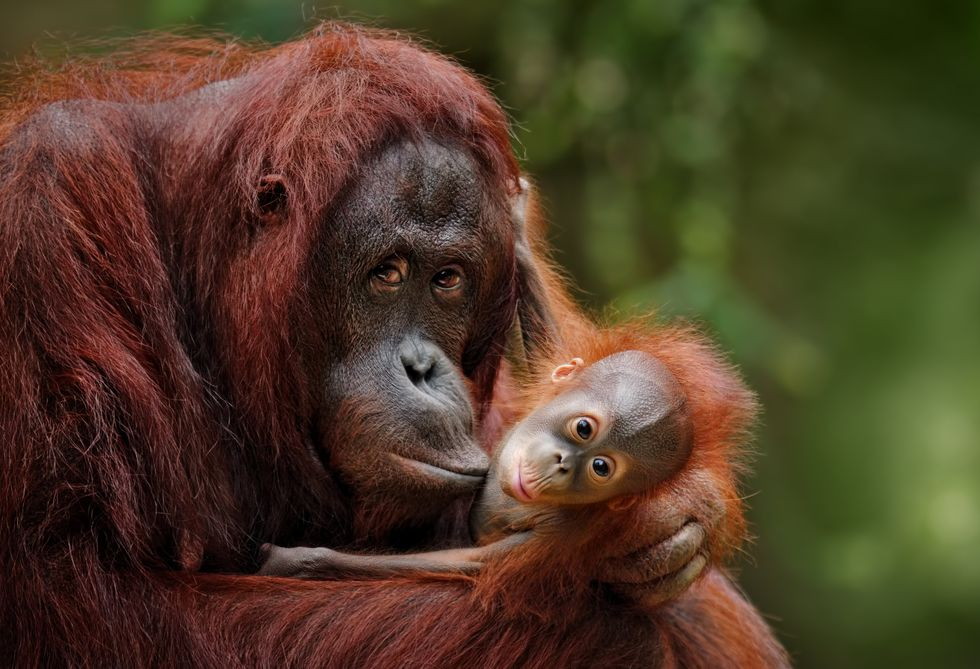Surprising Study: Orangutans Are Only Non-Human Primates Who Can 'Talk' About the Past