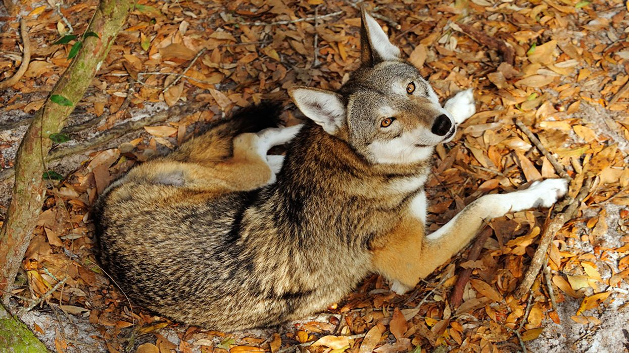 Our New Favorite Judge May Have Saved Red Wolves From Extinction