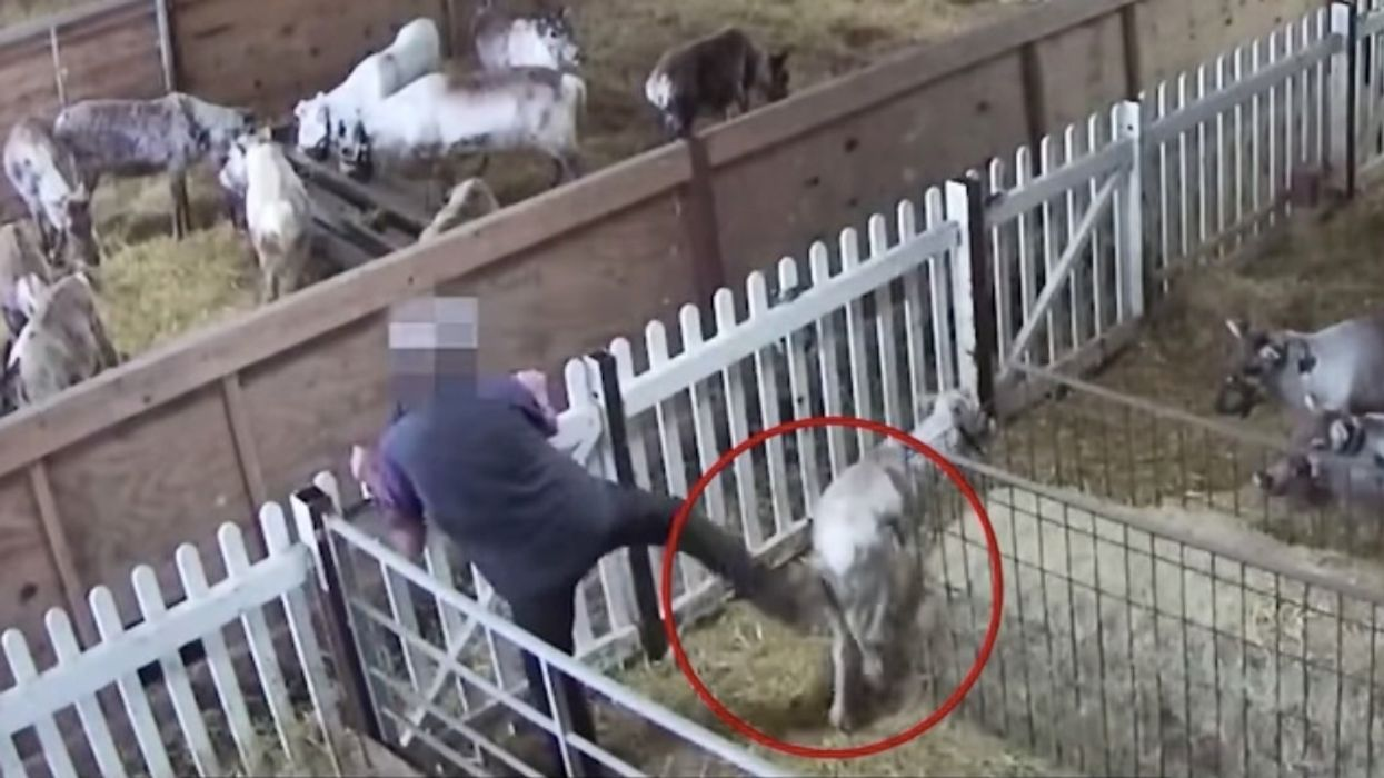 Captive Reindeer Seen Kicked and Abused at UK Farm