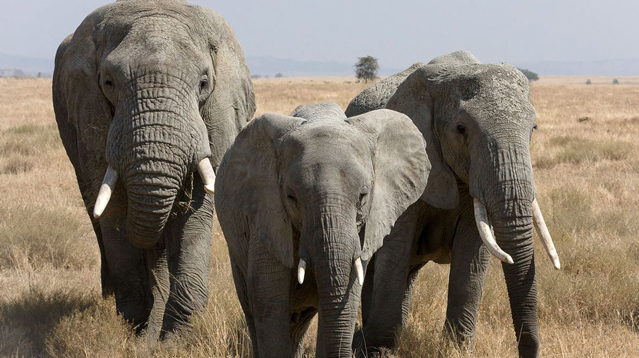 Why Is the European Commission Backtracking on a Full Ivory Ban?