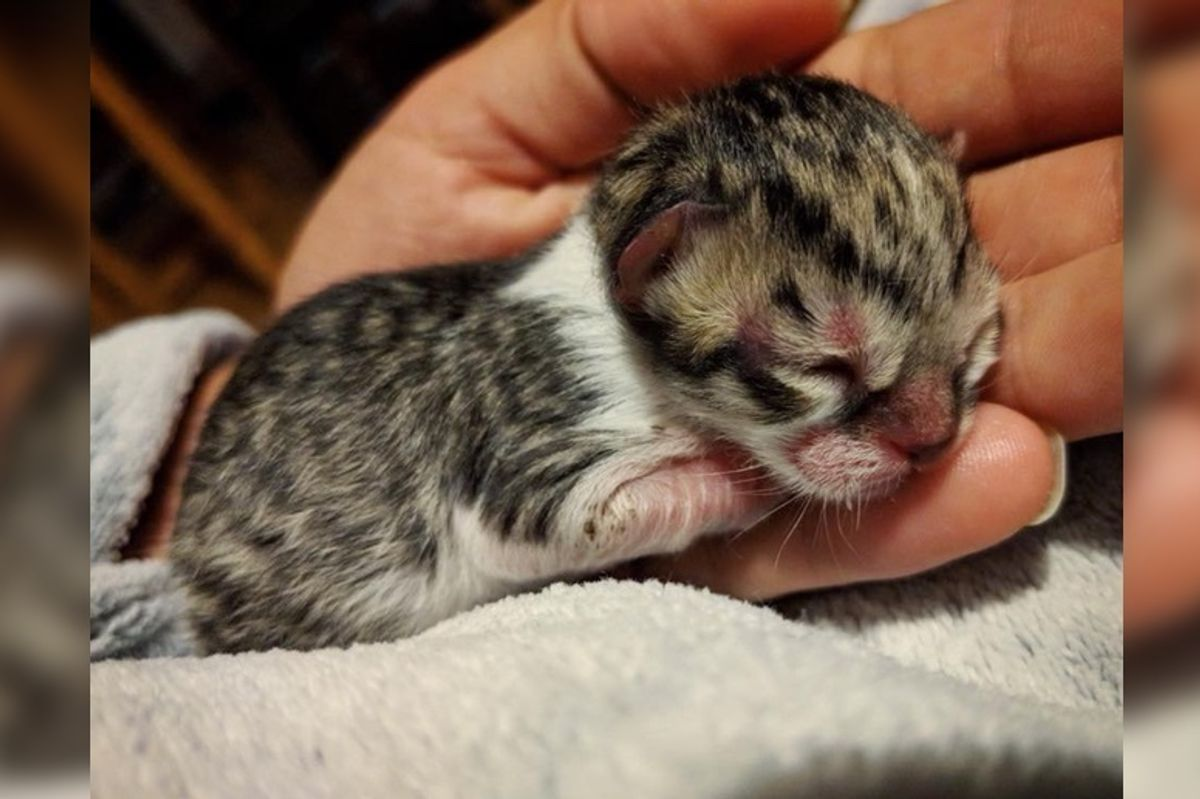 Man Heard Kitten's Cries and Found Tiniest Kitty Left Behind at the Farm