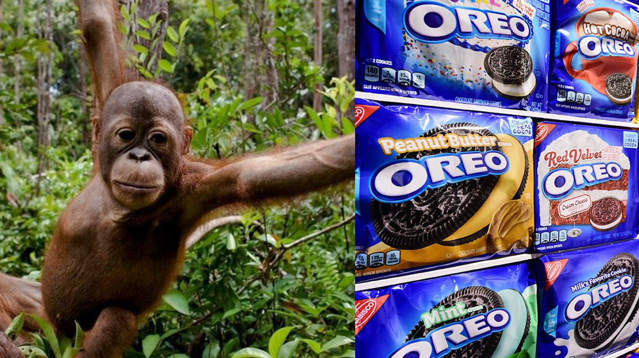 Oreo Cookie Maker Linked to Orangutan Habitat Destruction for Palm Oil
