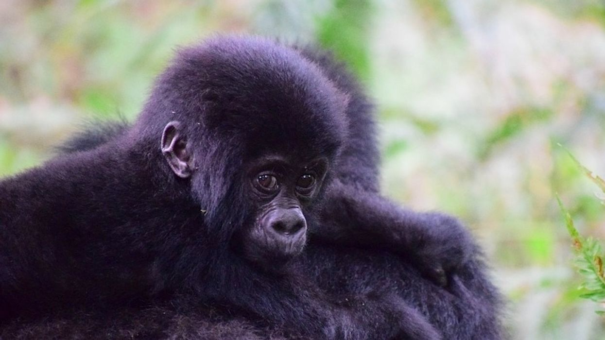Conservation and 'Renewed Hope': Mountain Gorilla Numbers Rebound