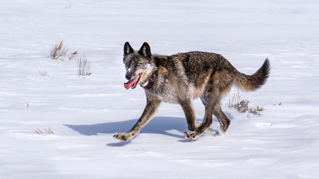 Iconic Yellowstone Wolf Shot Dead in Legal But 'Senseless Killing'