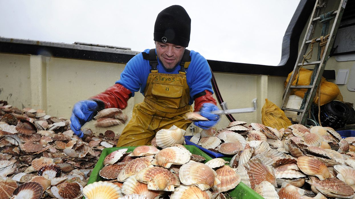 Scallops Absorb Billions of Microplastics in Just 6 Hours