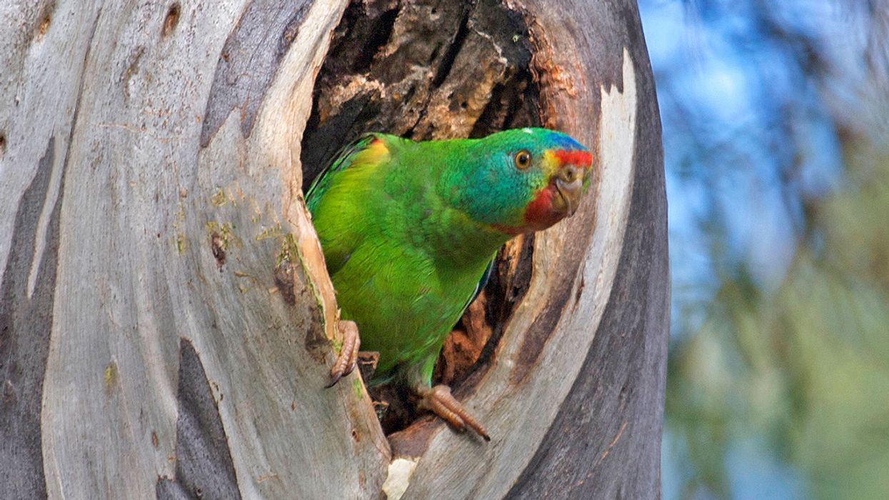 Love Triangles Kill, at Least for Swift Parrots