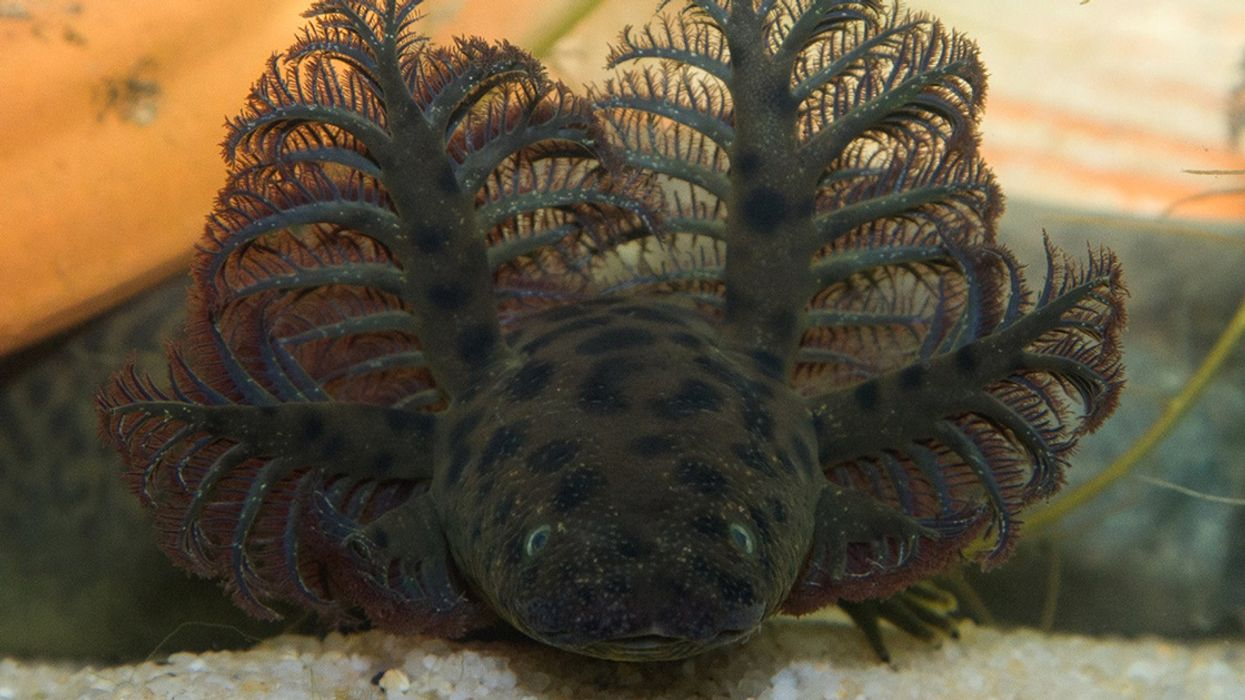 Swampy Thing: The Giant New Salamander Species Discovered in Florida and Alabama