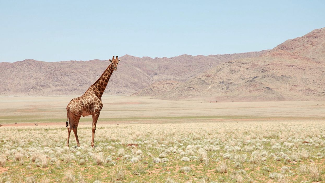 Green Groups Sue to Get Giraffes on Endangered Species List