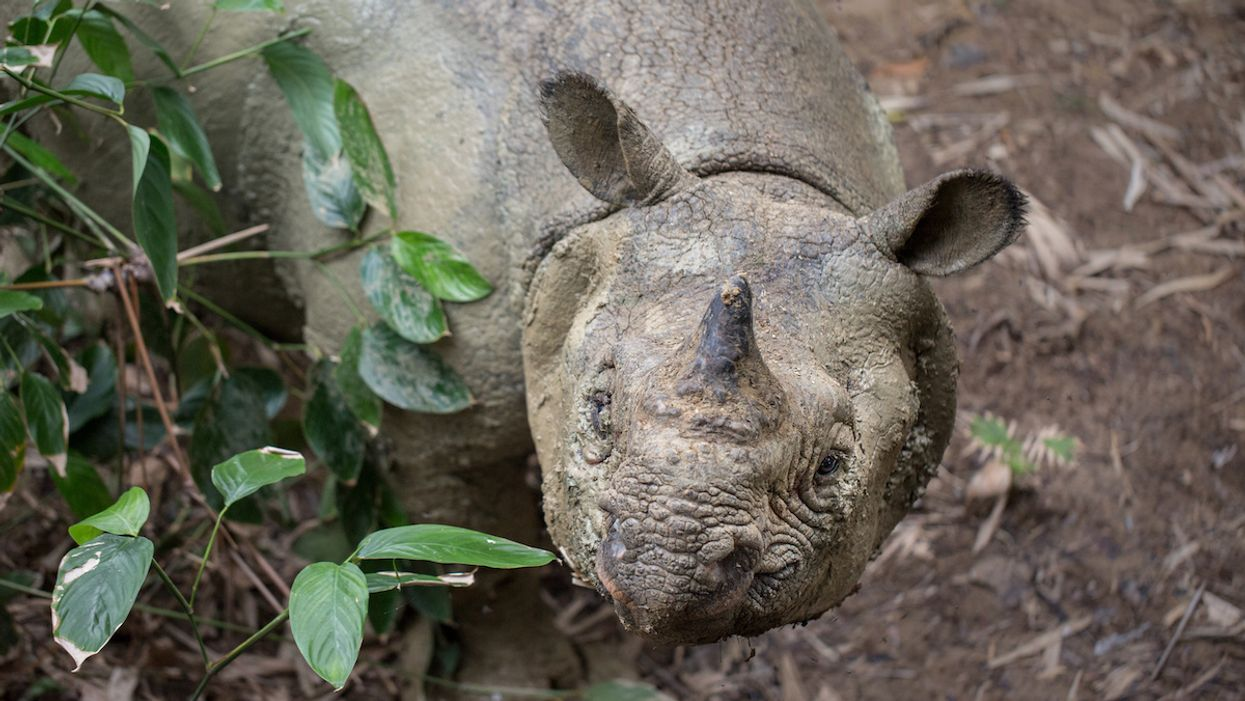 See Stunning Footage of World's Most Threatened Rhino