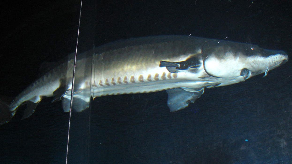 After 140 Million Years, Chinese Sturgeons May Soon Be Extinct