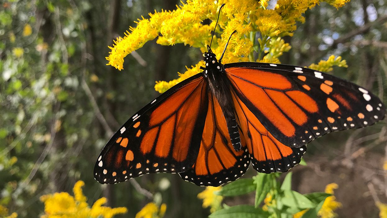 5 Ways to Make a Difference in the Life of a Monarch