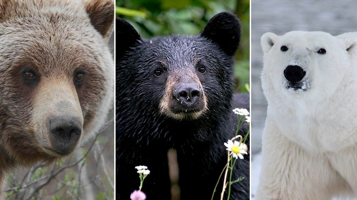 New Bear on the Block: Grizzlies Spotted in Black and Polar Bear Habitats