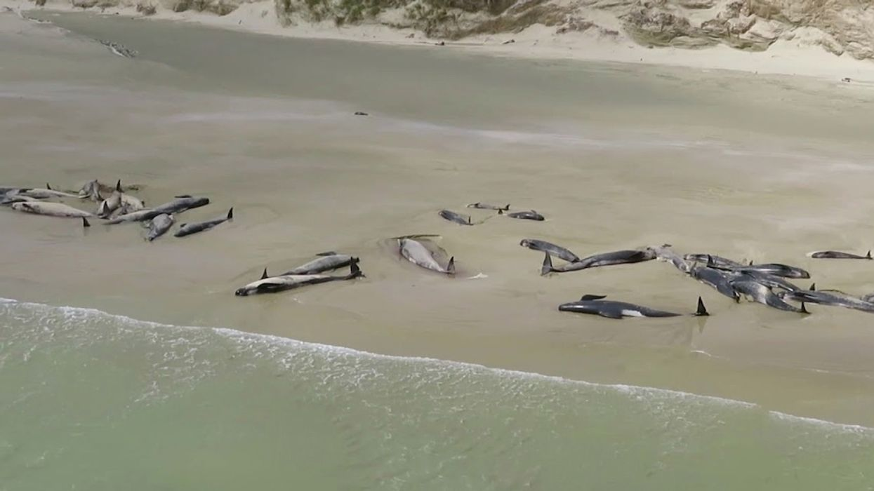 145 Whales Dead After Mass Stranding on New Zealand Beach