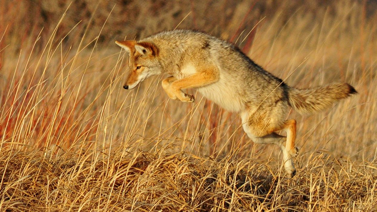 Trump Administration Refuses to Ban Wildlife-Killing M-44 'Cyanide Bombs'