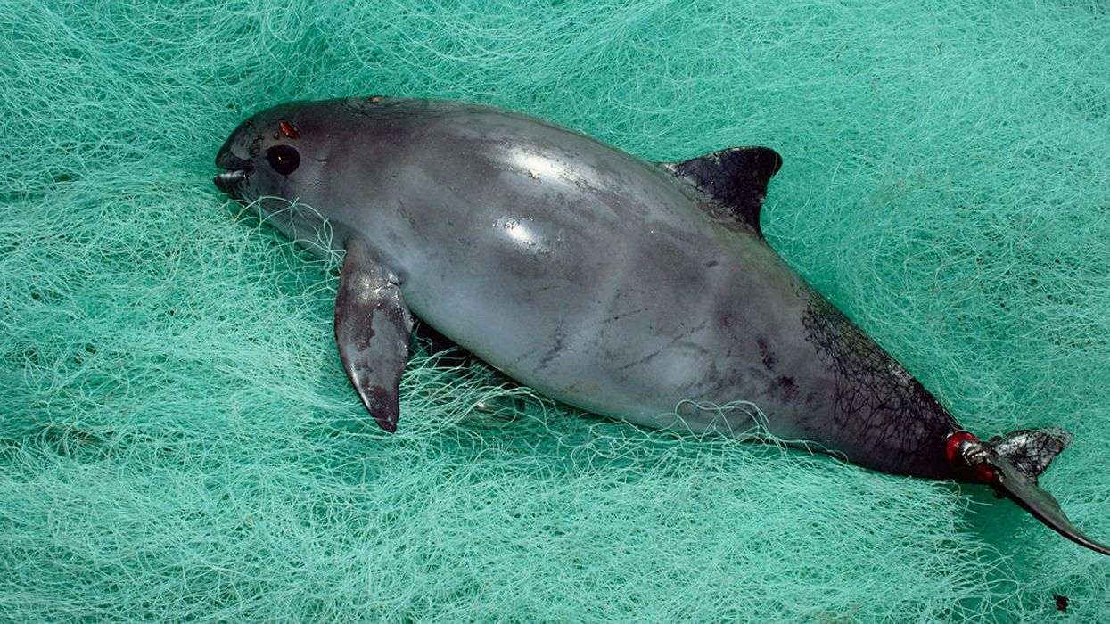 Near-Extinct Vaquita Gets Another Lifeline from the Courts