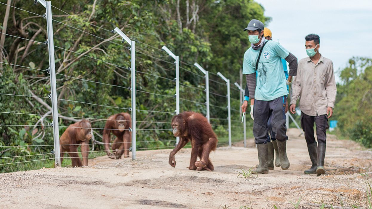 The Bornean Orangutan Population Has Fallen by Nearly 150,000 in Just 16 Years