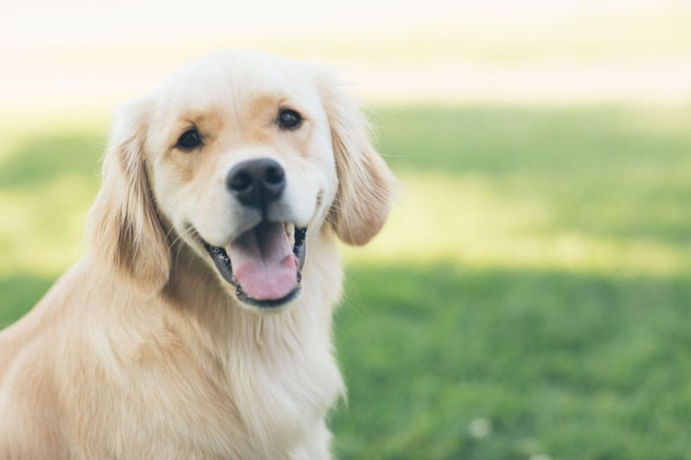 9 Reasons You Should Stop What You're Doing And Go Get Yourself A Golden Retriever