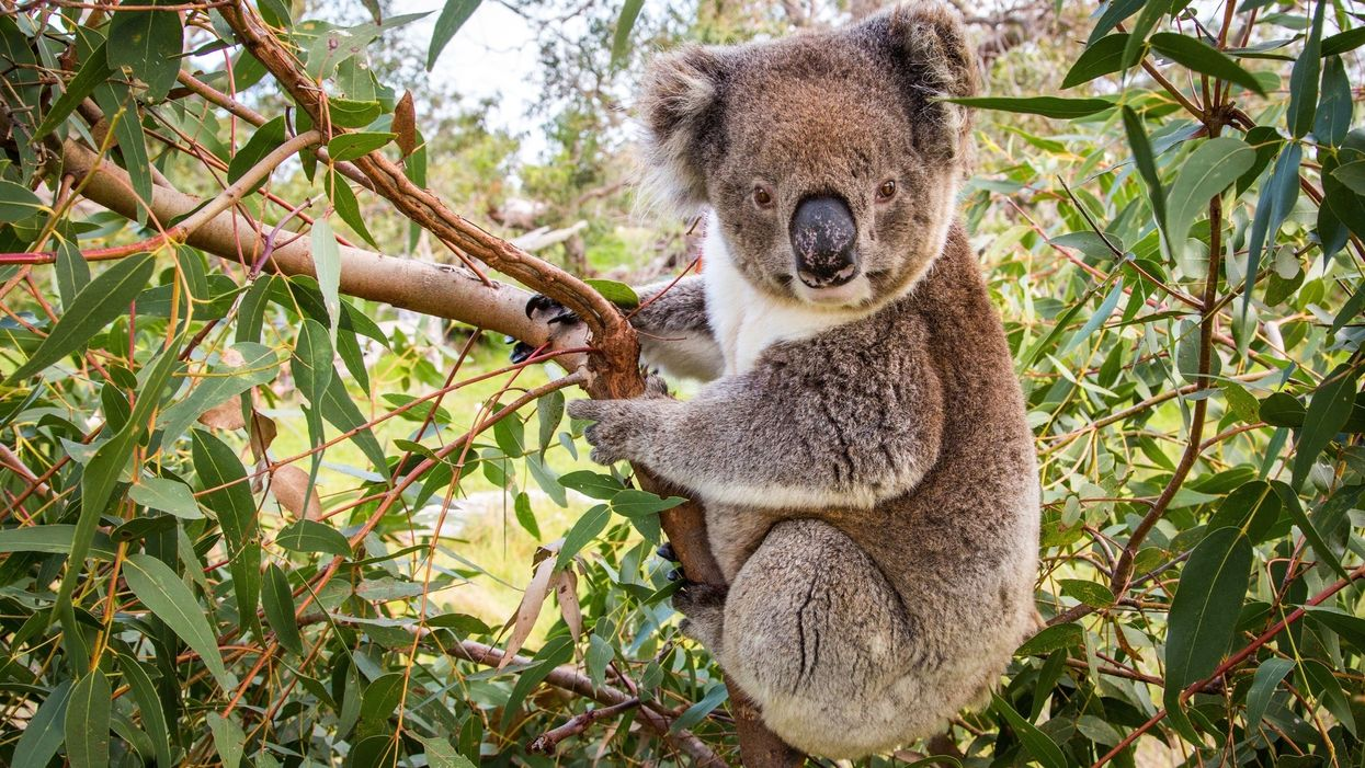 Thirsty Koala Becomes the Face of Australia's Heat Wave