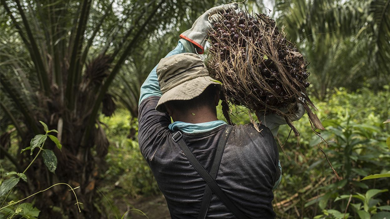 Why Is Palm Oil Cultivation Replacing Subsistence Farming in Guatemala?