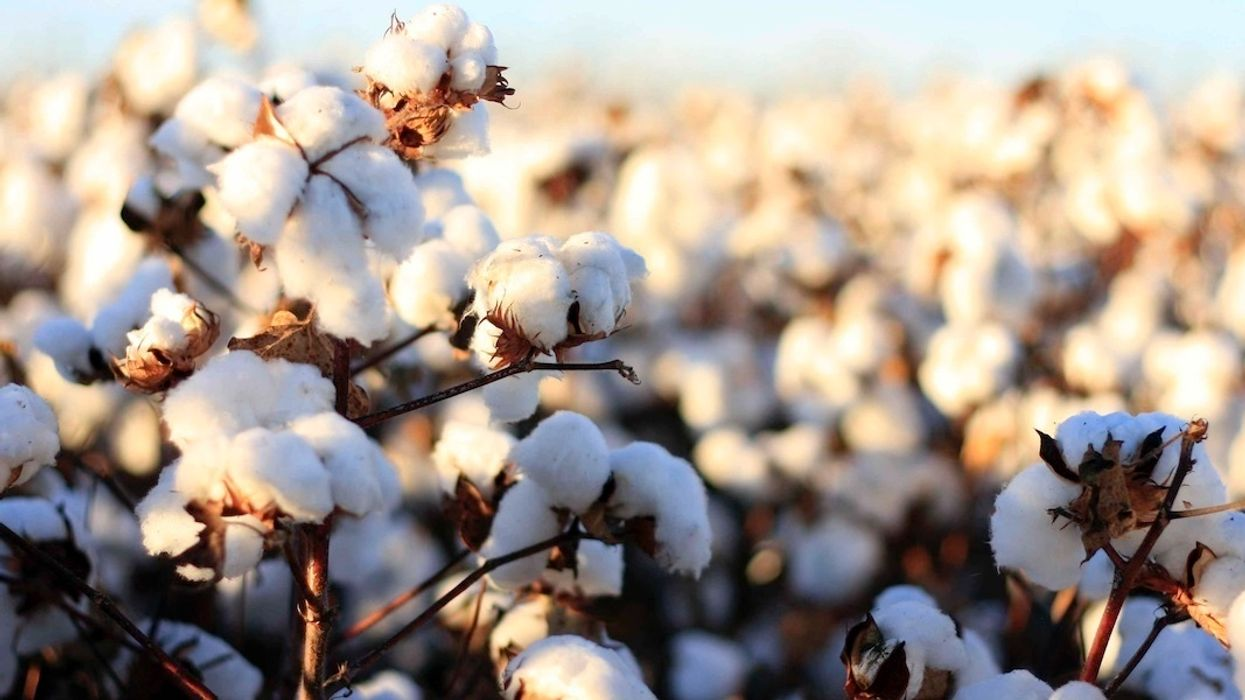 Monsanto Can Claim Patent on GM Cotton in India, Top Court Rules