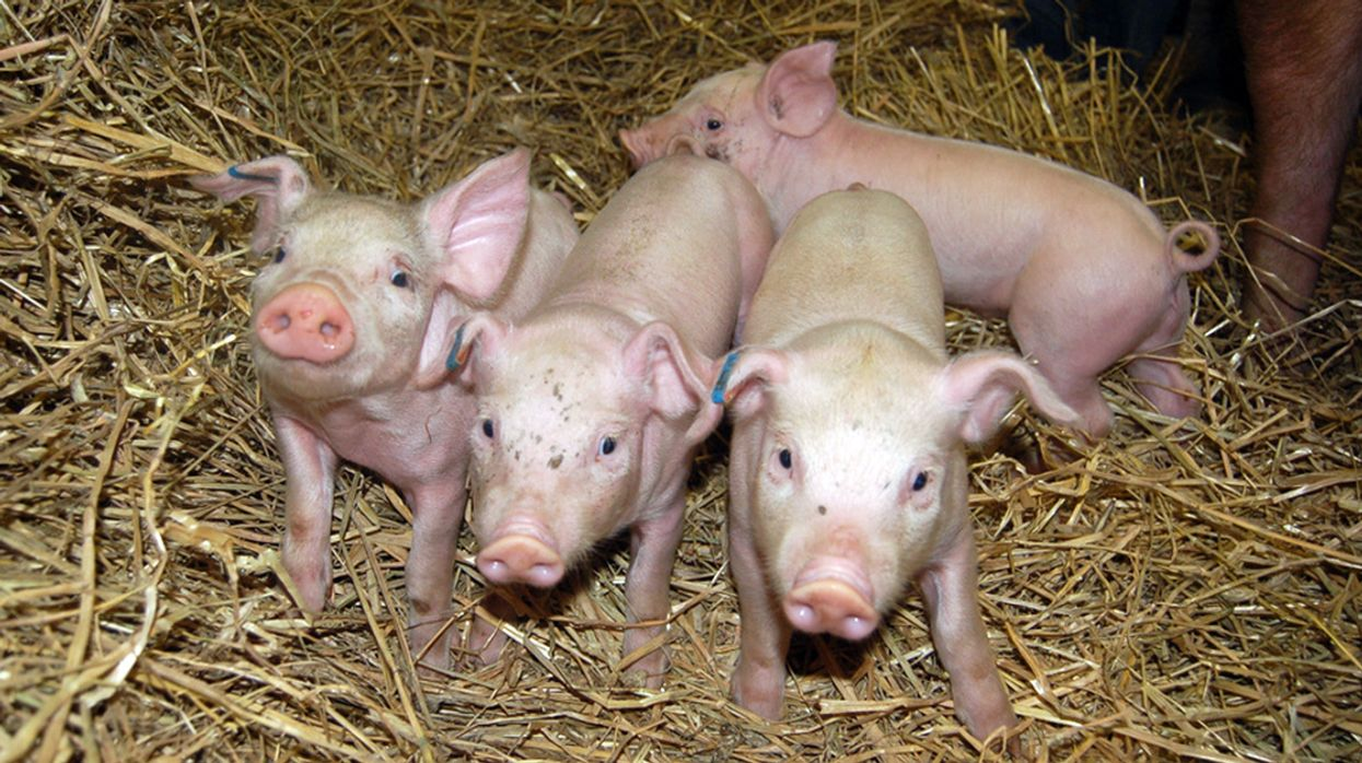 Undercover Investigations Will Be Legal Again at Iowa Animal Farms