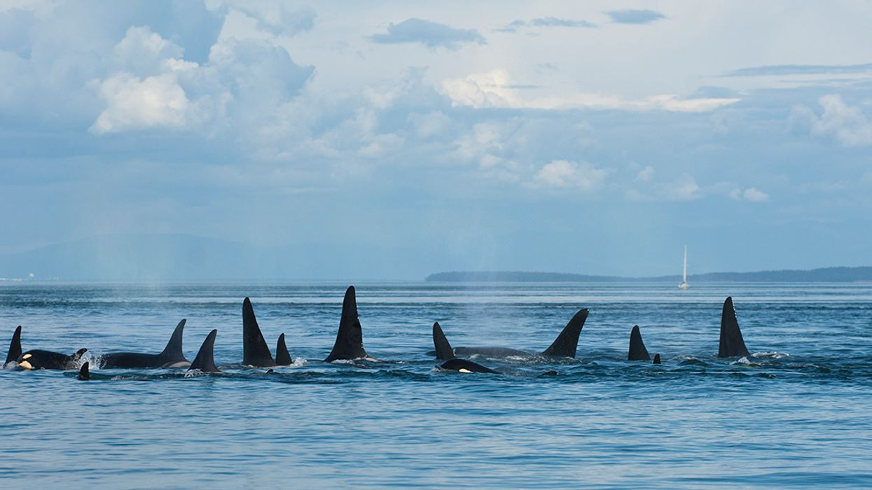 New Orca Calf Born to Ailing Southern Resident Orcas