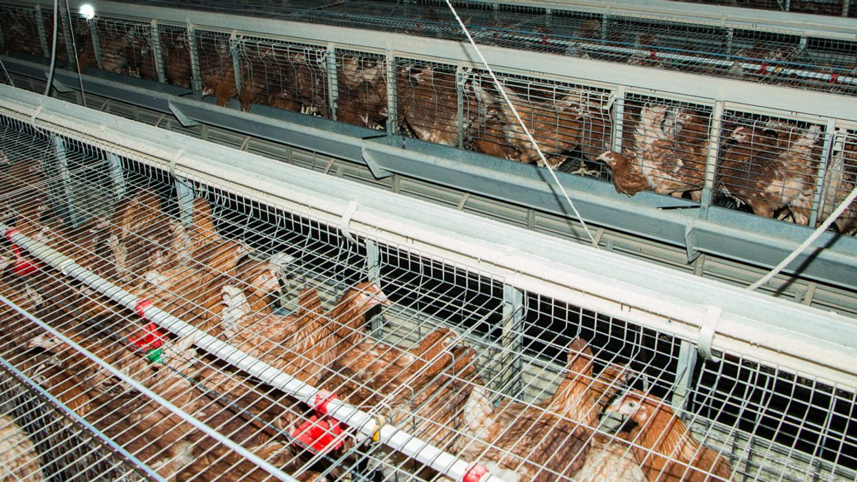 USDA Allows Animal Neglect and Abuse at Poultry Slaughter Plants