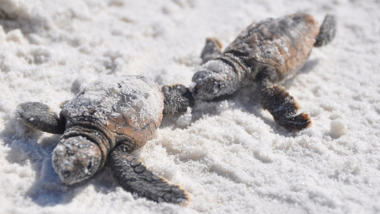 A Record 589 Sea Turtles Killed By Florida's Toxic Red Tide