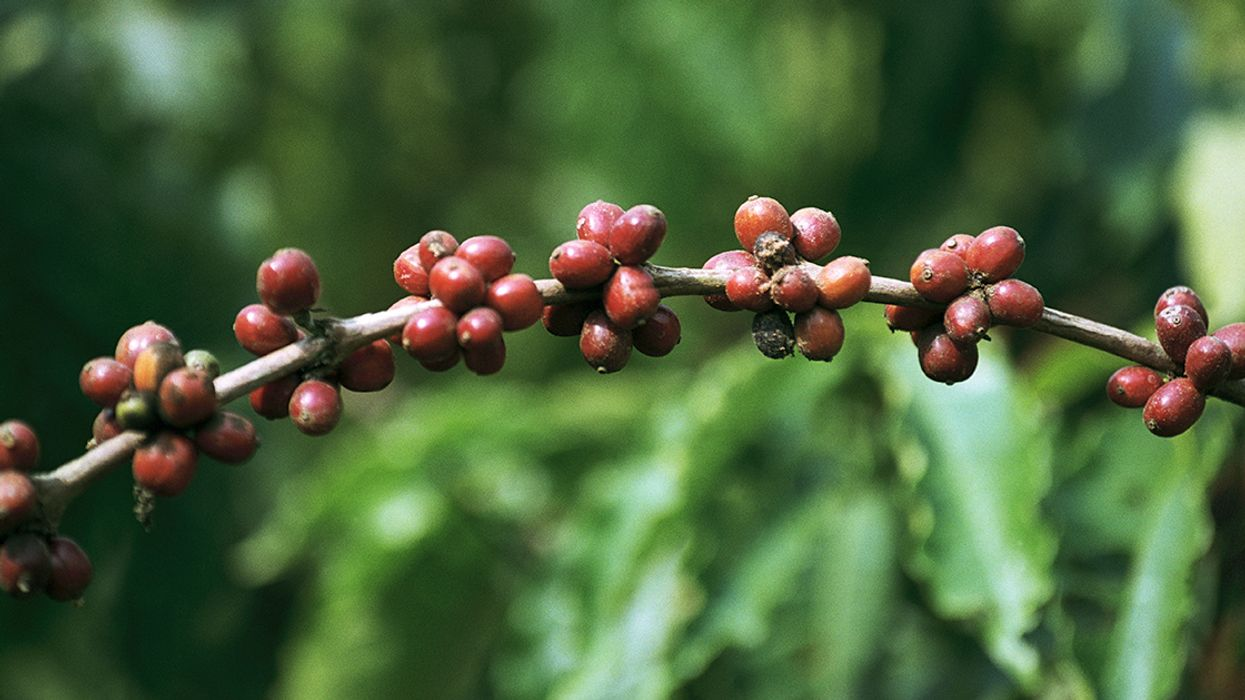 60% of Wild Coffee Species at Risk for Extinction