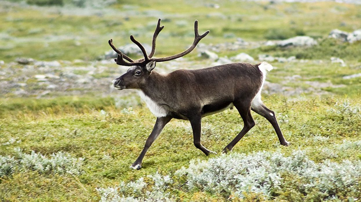 Reindeer Numbers Have Fallen by More than Half in 2 Decades