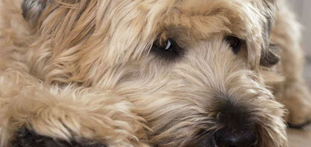 Why Wheaten Terriers Are The Best All Around Dogs Topdust