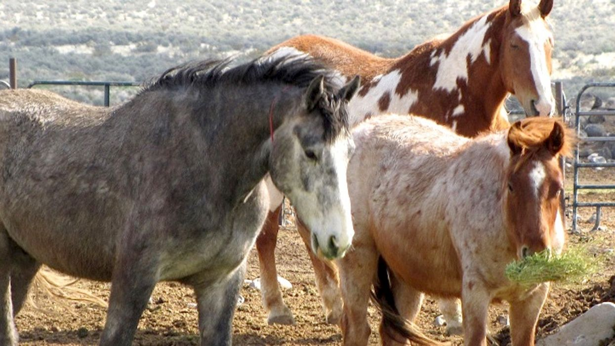 Feds Begin Selling Wild Horses Captured in California for $1 Each