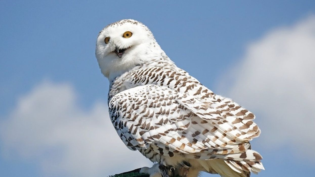 The Unsettling Reason Why We're Seeing More Snowy Owls