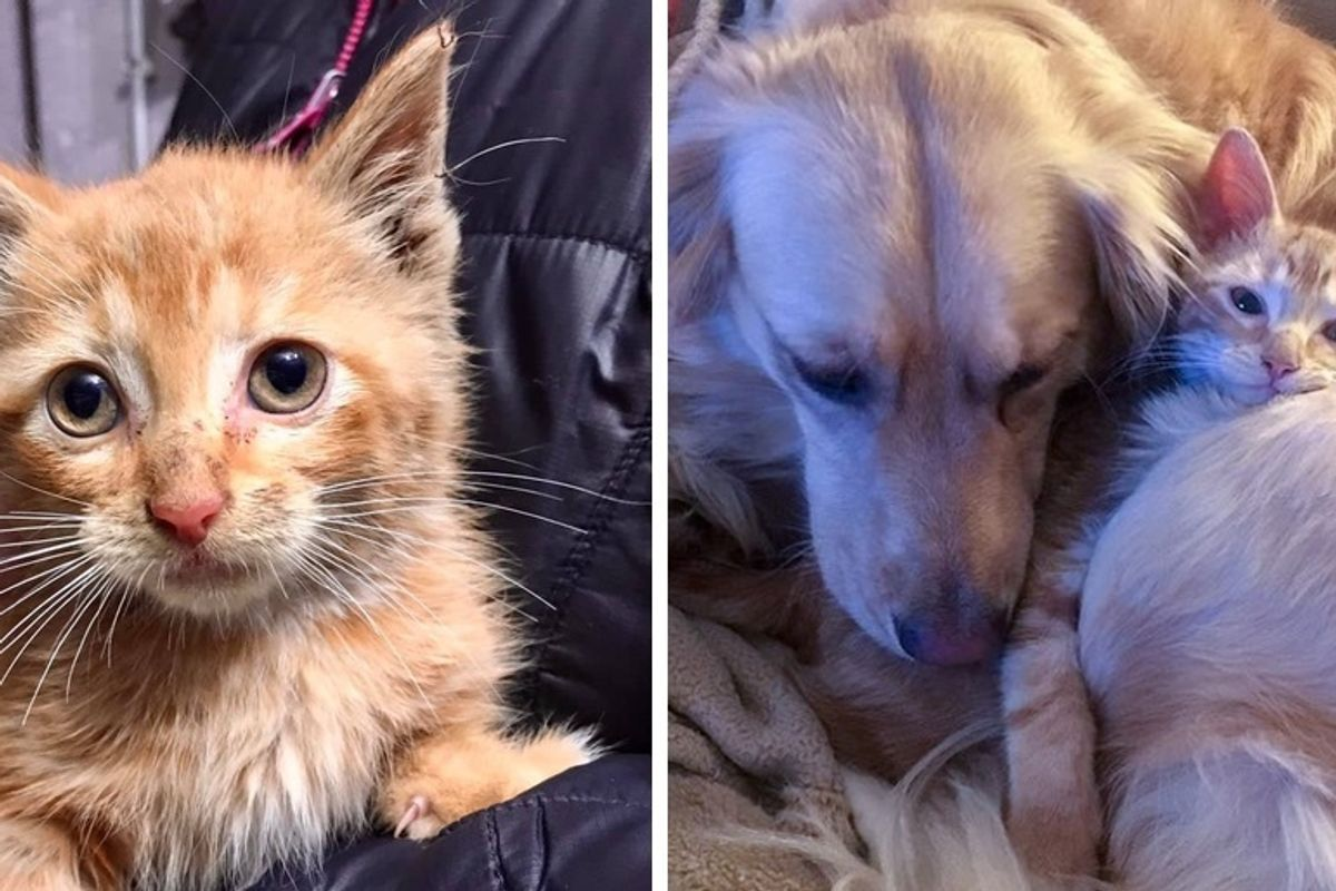 Kitten Rescued from a Van in Parking Lot, Finds His Perfect Friend in a Dog