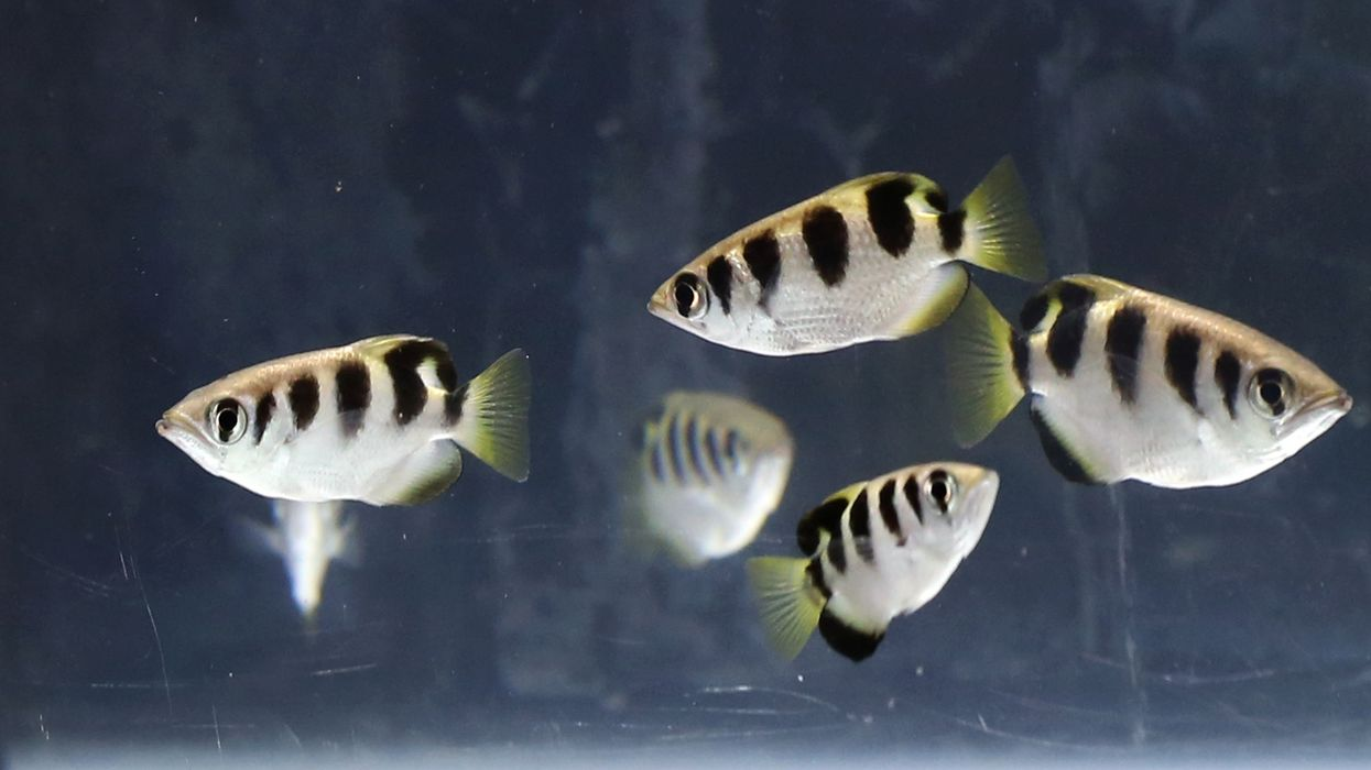 Some tropical fish can recognize human faces