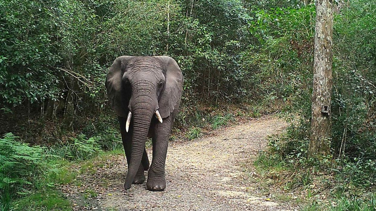 Just One Elephant Remains in the Knysna Forest