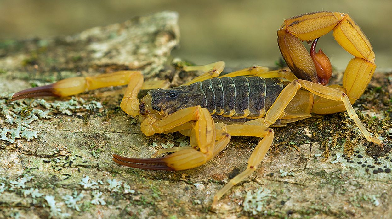 Venomous Yellow Scorpions Are Moving Into Brazil's Big Cities—and the Infestation May Be Unstoppable