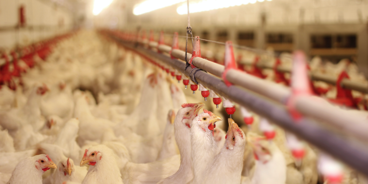 Move over bacon: Poultry farms are taking over North Carolina
