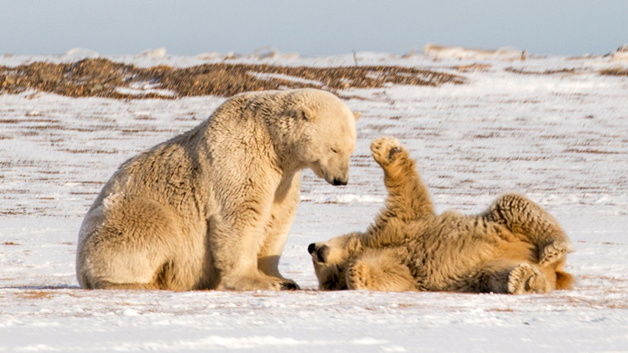 Arctic Refuge Oil Surveys Put Polar Bears in the Crosshairs