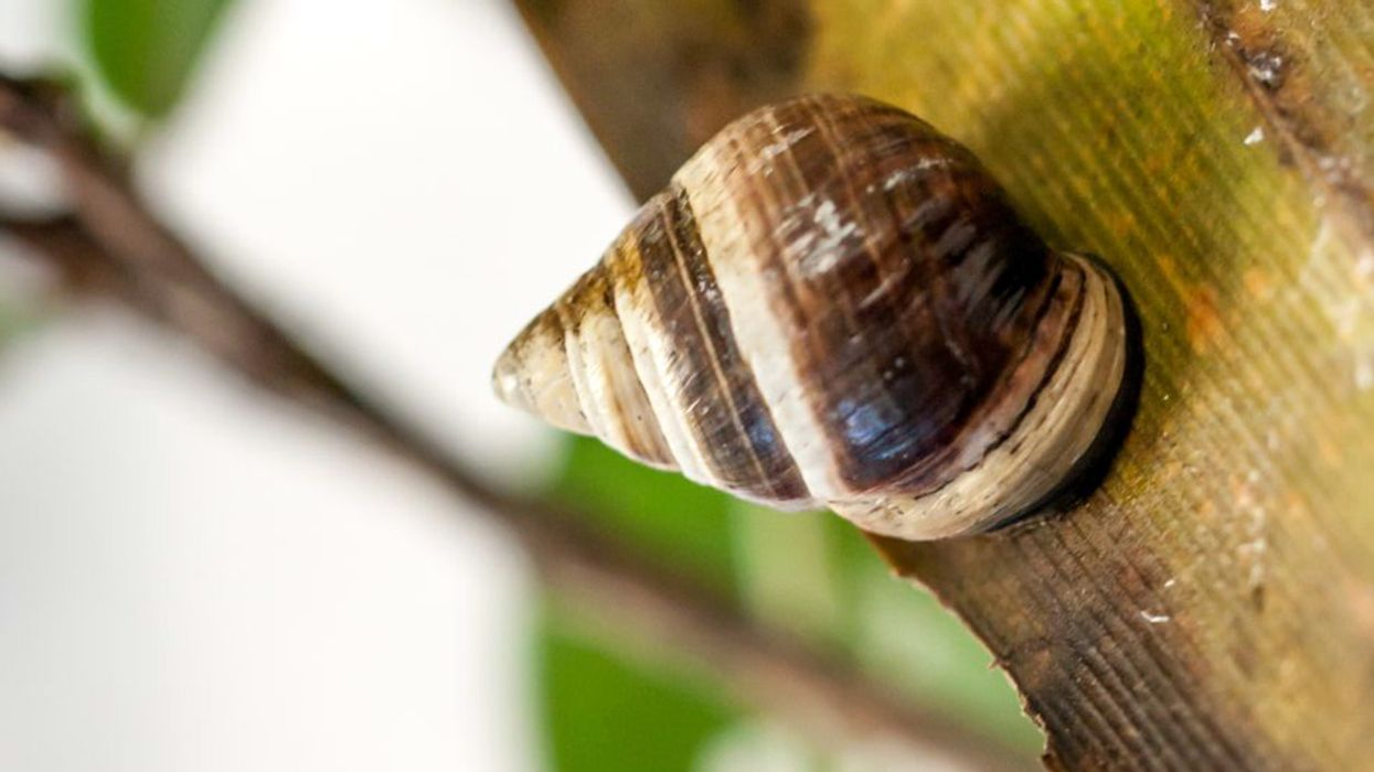 'George' the Snail Marks First Documented Species Extinction of 2019