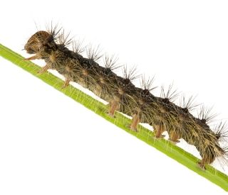 USDA Seeks Your Help to Stop Gypsy Moths