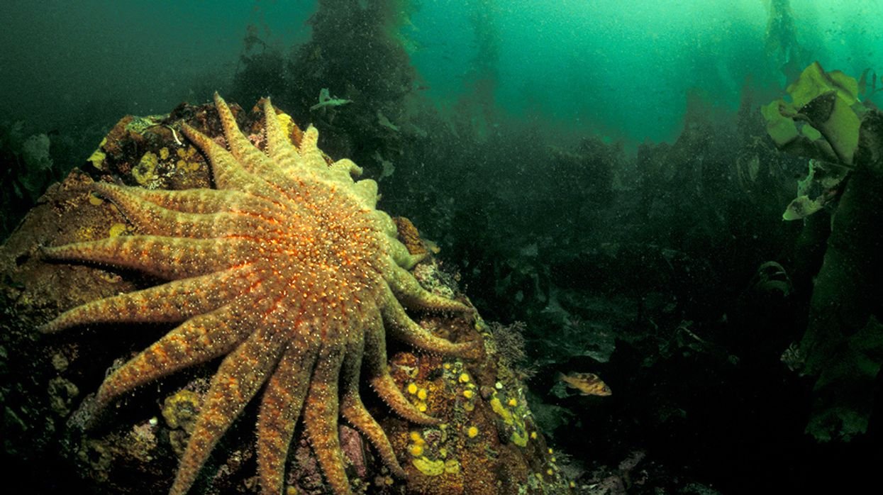 Warming Oceans Strongly Linked to Sea Star Die-Off