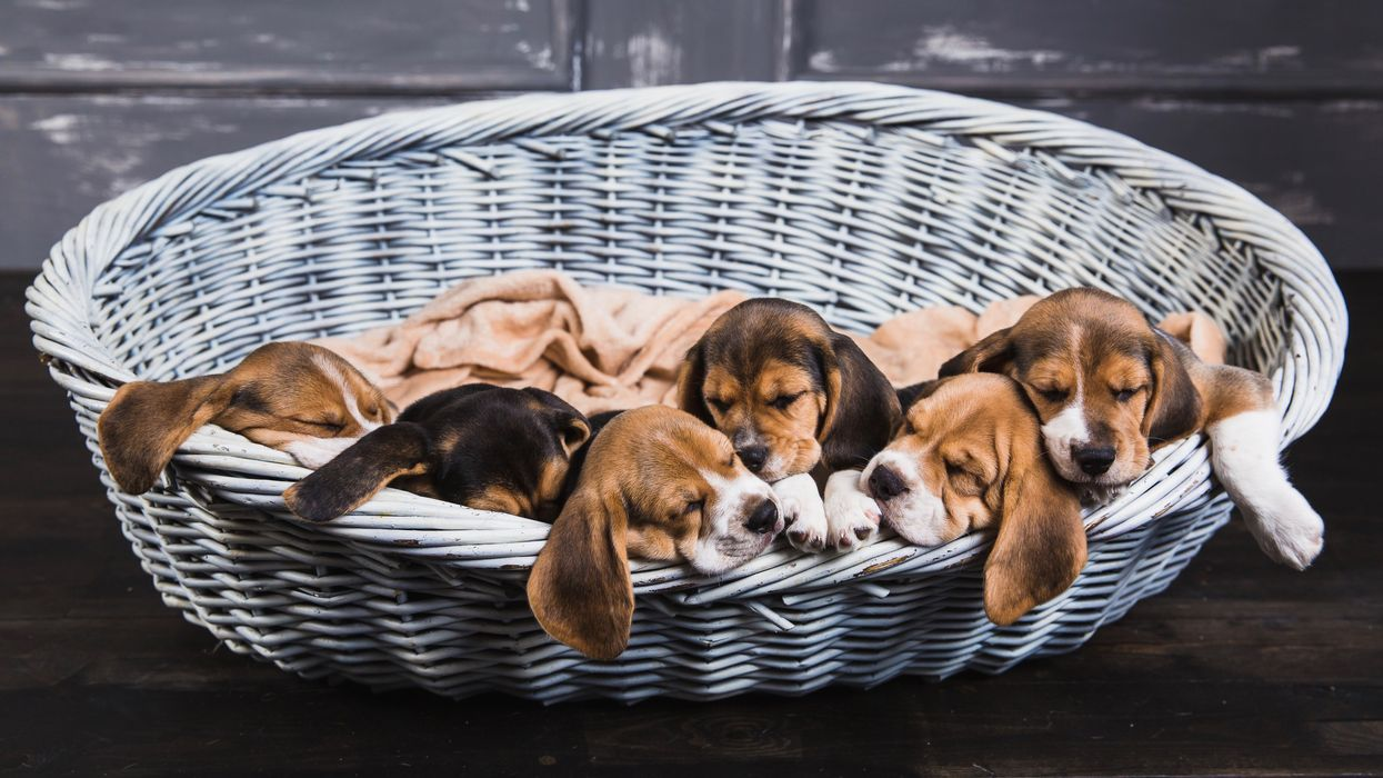 USDA Loosens Oversight of Puppy Mills and Other Operations
