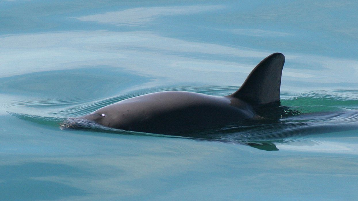 Vaquita Still Doomed Without Further Disruption of Totoaba Cartels