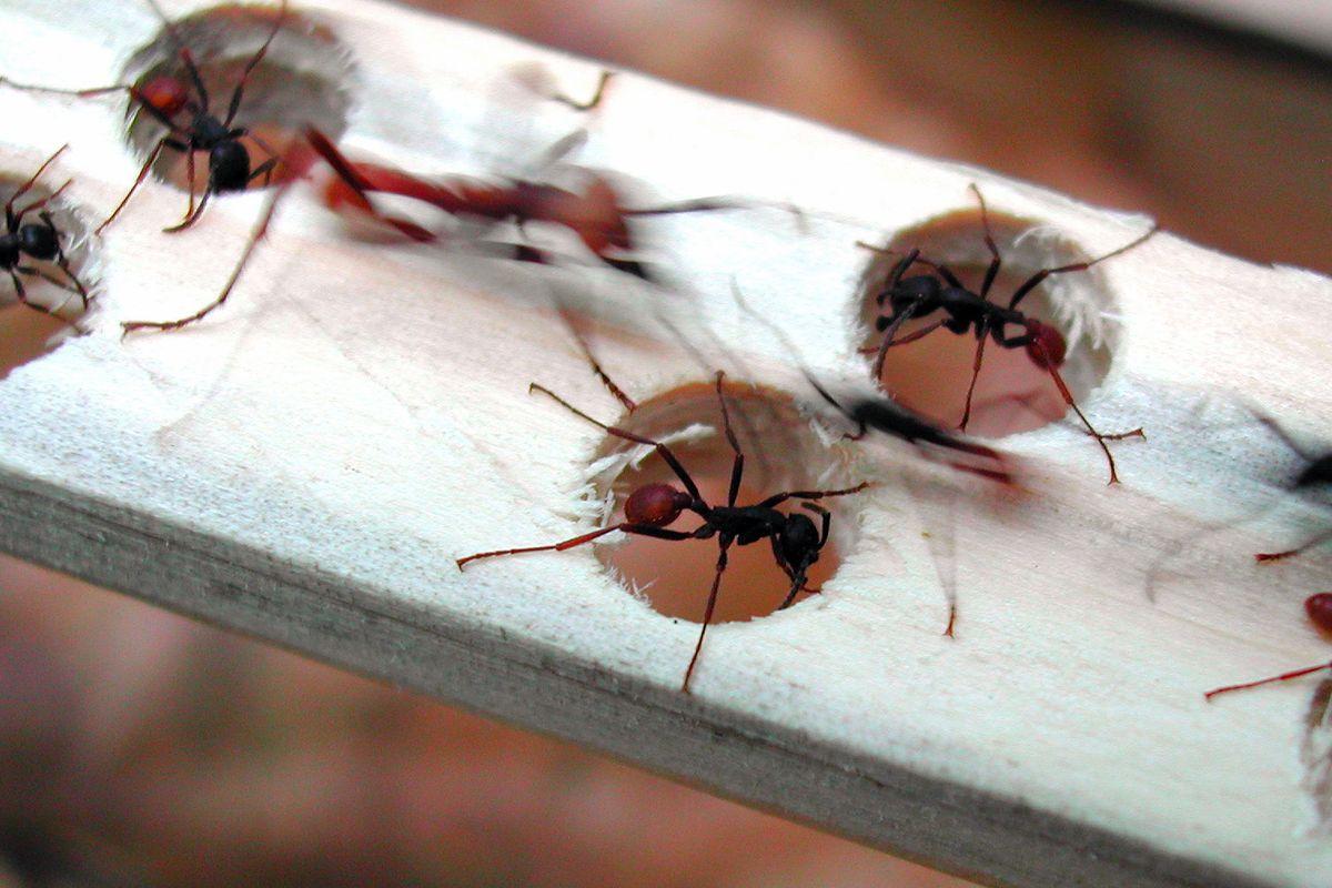 «Le formiche ci fanno gratis da spazzine e nutriranno il mondo»