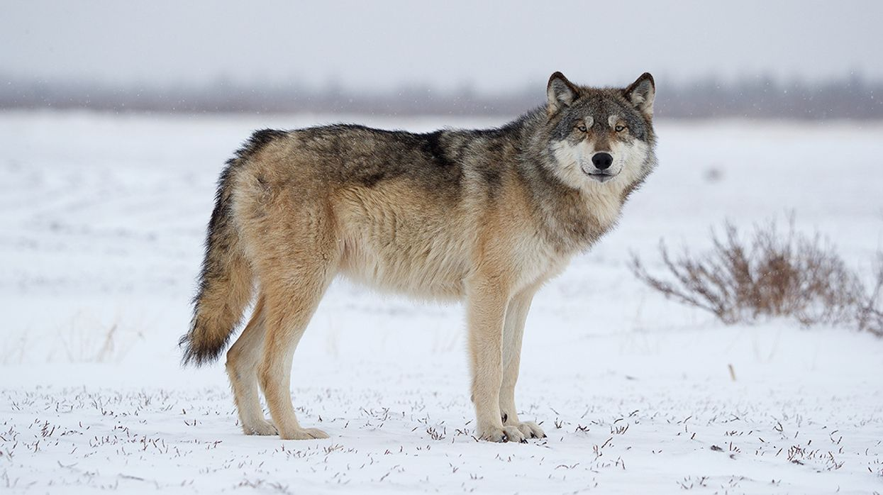 Trump Admin Announces Plan to Strip Gray Wolves of Endangered Species Act Protections